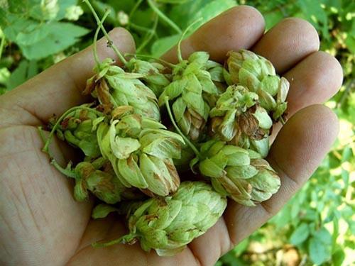 передаточные растения мая  сушилка для травянистых растений купить
